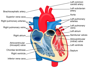 February is American Heart Month - Heart Diagram (courtesy of Wikipedia Commons)