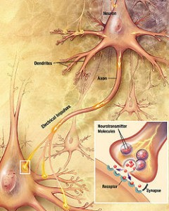 Tau Found to Spread between Synapses in the Brain (Image courtesy of Wikipedia)