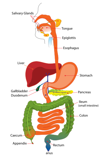 Digestive System (image courtesy of Wikipedia Commons)